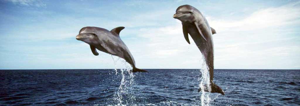 diving-delfiny